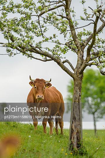 Kuh mit Baum - p1273m1158619 von melanka