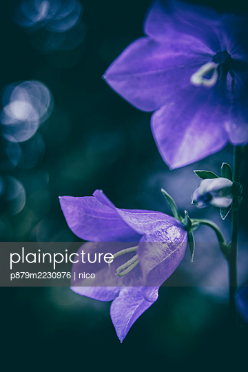 Campanula flower - p879m2230976 by nico