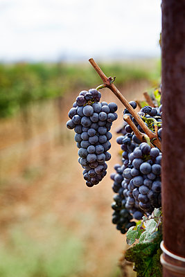 Close-up of grapes growing in vineyard - p1166m1152097 by Cavan Images