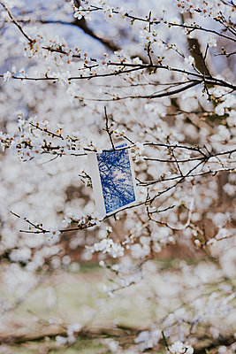 Instant picture among white blossoms - p1184m1222714 by brabanski