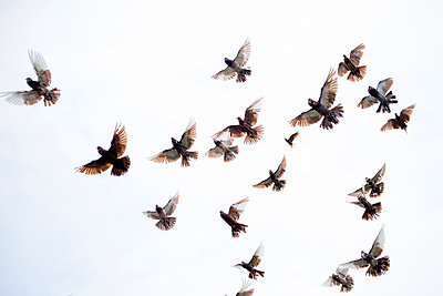 Flock of birds flying in clear sky - p924m2135597 by Sara Monika