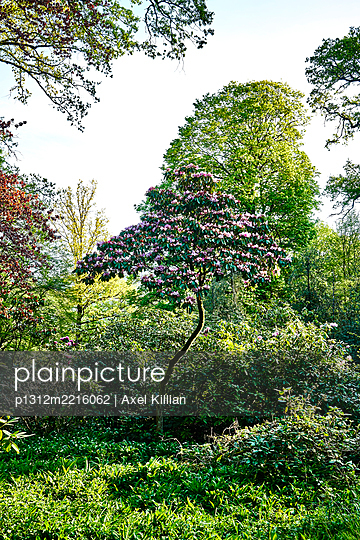 Tree-shaped rhododendron abloom - p1312m2216062 by Axel Killian