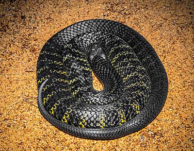 Australien, Black Tiger Snake - p1275m2032106 von cgimanufaktur
