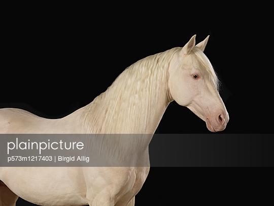 Pferdeportrait - p573m1217403 von Birgid Allig