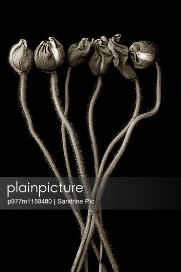 Strauß Mohnblumen auf schwarzem Hintergrund - p977m1159480 von Sandrine Pic