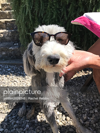Hund mit Sonnenbrille - p988m2028348 von Rachel Rebibo