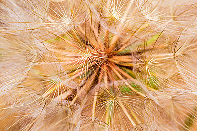 Extreme close-up of a dandelion seed head; Naramata, British Columbia, Canada - p442m1580363 by Lorna Rande