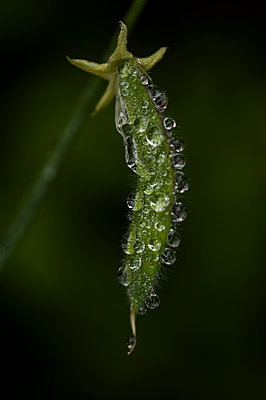 Sweet pea pod covered in raindrops - p1047m1090525 by Sally Mundy