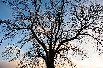 Baum-Silhouette - p1057m881676 von Stephen Shepherd