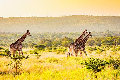 Giraffe (Giraffa camelopardalis), Zululand, South Africa - p871m2032679 by Laura Grier