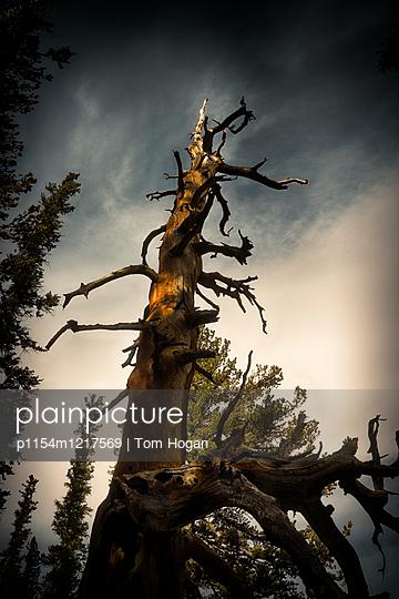 Alte Borstenkiefer im Great Basin National Park - p1154m1217569 von Tom Hogan