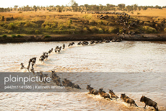 Large group of Wildebeest  surges across the flooded Mara River in Serengeti National Park; Tanzania - p442m1141586 by Kenneth Whitten