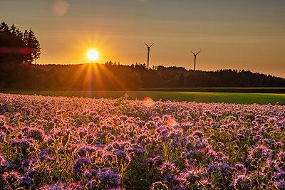 Germany, flowering scorpionweed in summer, wind park at sunset - p300m2041997 von Hans Mitterer