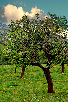 Almond trees - p3750242 by whatapicture