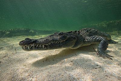 Two American crocodiles (crodoylus acutus) in the shallows of Chinchorro Atoll, Mexico - p429m1181286 by Rodrigo Friscione