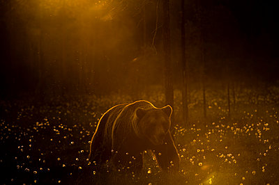 European brown bear walking in forest at sunset - p429m1417599 by Delta Images
