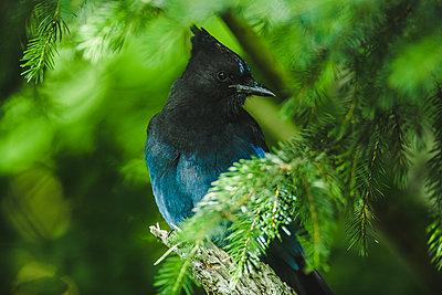 Alaska, Blue jay hiding between branches - p1455m2204753 by Ingmar Wein