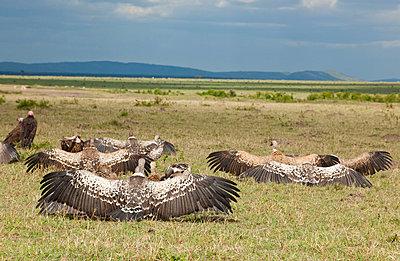 Wings of vulture - p5330251 by Böhm Monika