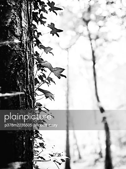 Ivy on a tree - p378m2235505 by Robert rbury