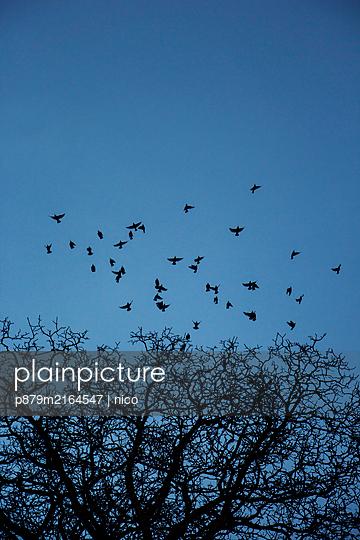 Birds on evening sky - p879m2164547 by nico