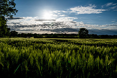 Grain field in the evening light - p1523m2186106 by Nic Fey
