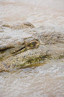 Crocodile in river, costa rica - p9244204f by Image Source