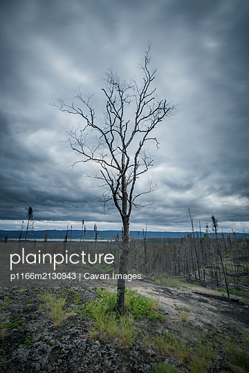 New growth amongst burnt forest , Goose Bay, Labrador - p1166m2130943 by Cavan Images