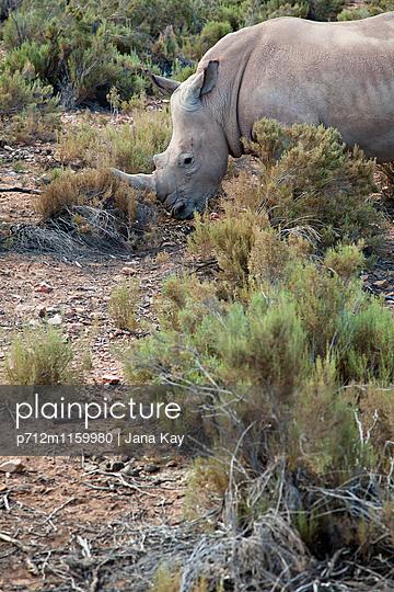 Nashorn in Südafrika - p712m1159980 von Jana Kay