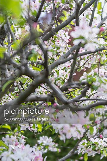 Apfelbaumblüte - p739m1588996 von Baertels