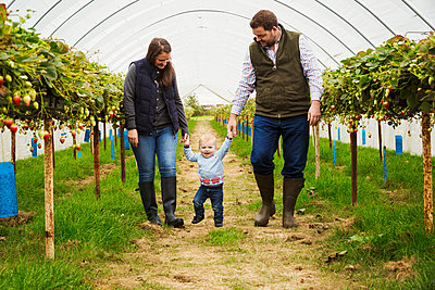 Fruit picking in a poly tunnel, PYO. A family and a baby boy walking between rows of strawberry plants grown on raised platforms in a polytunnel.  - p1100m1522418 by Mint Images