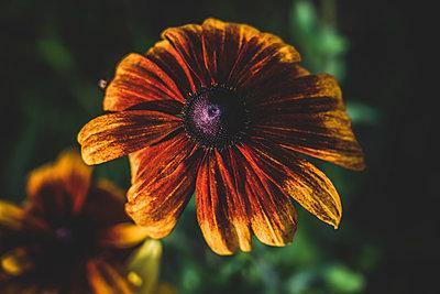 Chrysanthemum, close-up - p1295m2210081 by Katharina Bauer