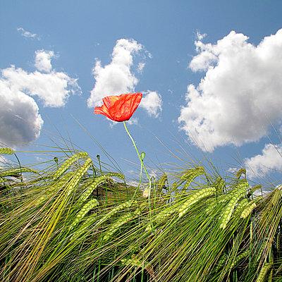 Poppy - p6460008 by gio