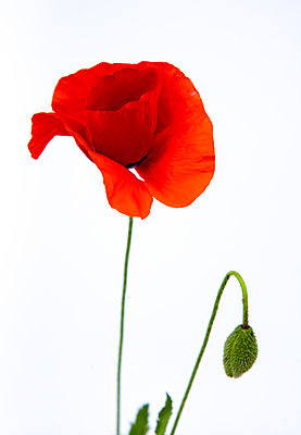 Poppy - p873m2184732 by Philip Provily