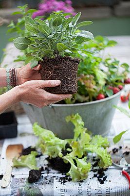 Salad and herbs - p948m940178 by Sibylle Pietrek