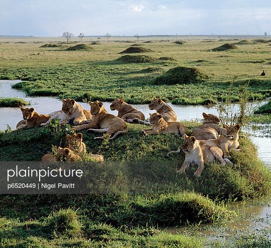 Lioness - p6520449 by Nigel Pavitt