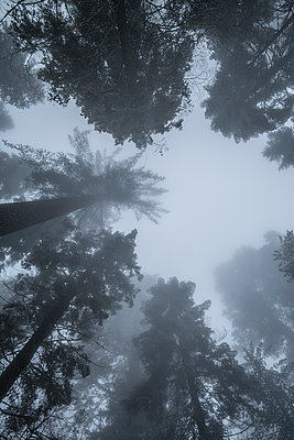 Treetops in the fog - p1134m1440786 by Pia Grimbühler