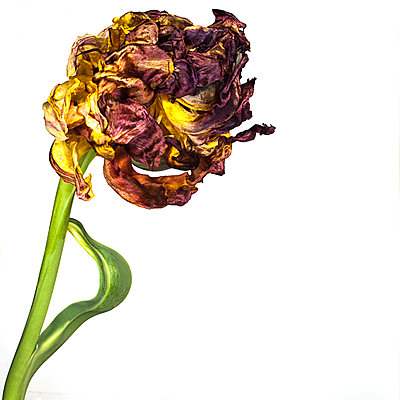 Dried tulip - p1470m1540403 by julie davenport