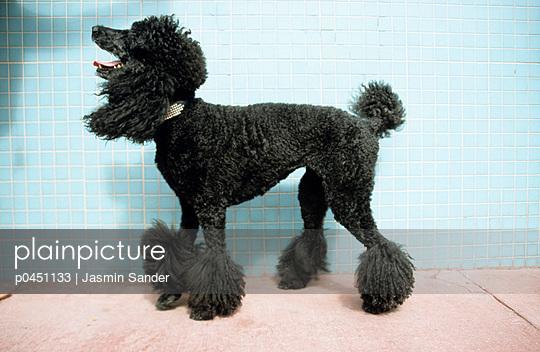 Groomed poodle - p0451133 by Jasmin Sander