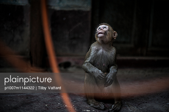 Monkey looking up - p1007m1144322 by Tilby Vattard