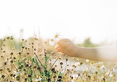 hand picking a wild daisy in a meadow at sunset - p1166m2141076 by Cavan Images