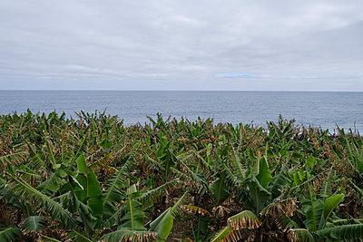 Portugal, Madeira, Banana plantation - p1600m2175695 by Ole Spata