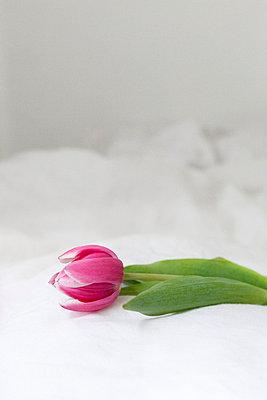 Pink tulip - p9560002 by Anna Quinn