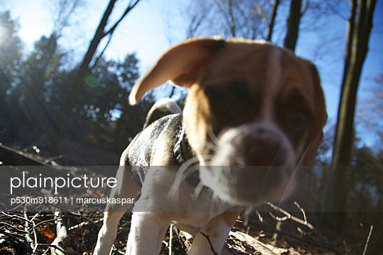 Puggle in the forest - p530m918611 by marcuskaspar