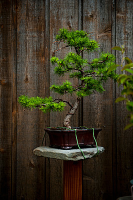 Bonsai vor Holzwand - p1273m1556632 von Melanka Helms