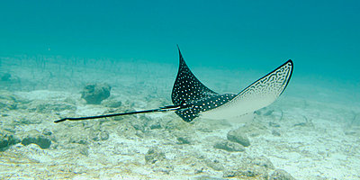 a spotted eagle ray (aetobatus narinari)under the water; galapagos, equador - p44213613f by Keith Levit