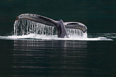 Humpback Whale  tail, Glacier Bay National Park, Alaska - p884m1141153 by Rob Reijnen / NiS
