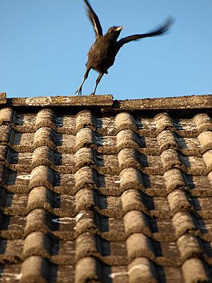 Krähe auf dem Dach - p0390468 von Christine Höfelmeyer