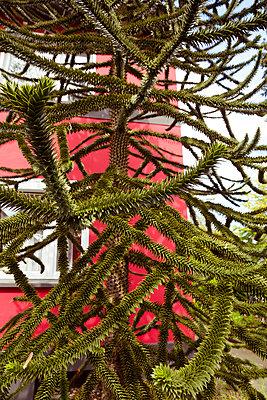 Lustiger Baum vor rotem Haus - p432m1424183 von mia takahara