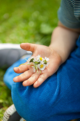 einen Haufen Gänseblümchen in der Hand - p045m1441007 von Jasmin Sander