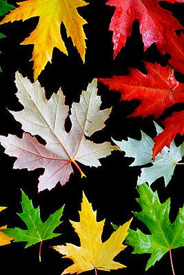 Maple leaves - p450m859596 by Hanka Steidle